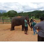 スリランカ旅行記2 :ピンナワラの象の孤児院で、象に餌やり!お昼は地元の食堂で!