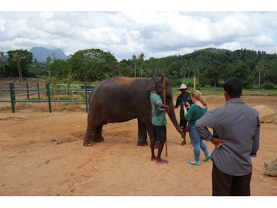 【スリランカ旅行一人旅 】象に触れる!ピンナワラの象の孤児院:旅行2日目