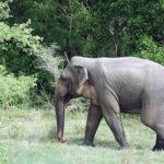 【スリランカ旅行一人旅】サファリツアーで野生の象三昧!ミンネリア国立公園